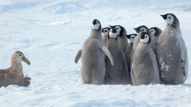 Baby penguins cry out as predator approaches, then an unlikely hero emerges to save the day