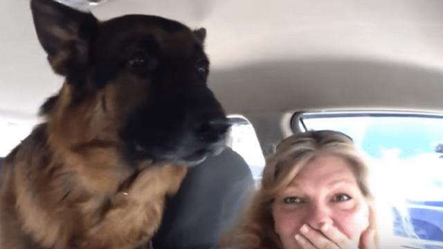 The moment this German shepherd realized he's at the vet has the internet in stitches