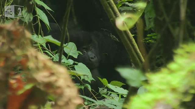 Silverback gorilla makes sure his family safely crosses the road 1