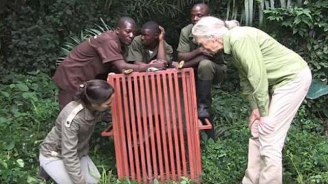 Chimp about to be released into wild but her final act toward rescuer is heart-wrenching