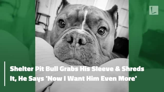 Shelter staff freeze when pit bull shreds visitor's coat, but man says 'now, I want him more'