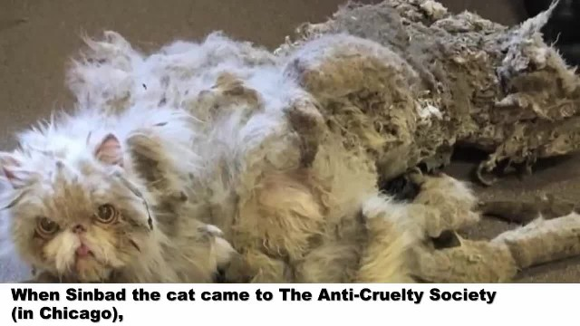 Neglected cat dragging around five pounds of matted fur gets incredible makeover