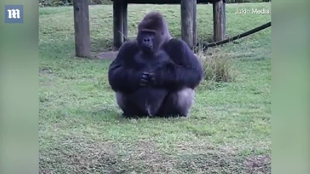 Gorilla uses SIGN LANGUAGE to tell zoo goers not to feed it