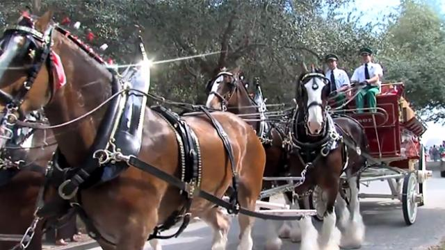 Amazing story behind the Budweiser Baby Clydesdales