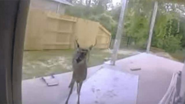 Deer shows up at back door frantically begging for help - They