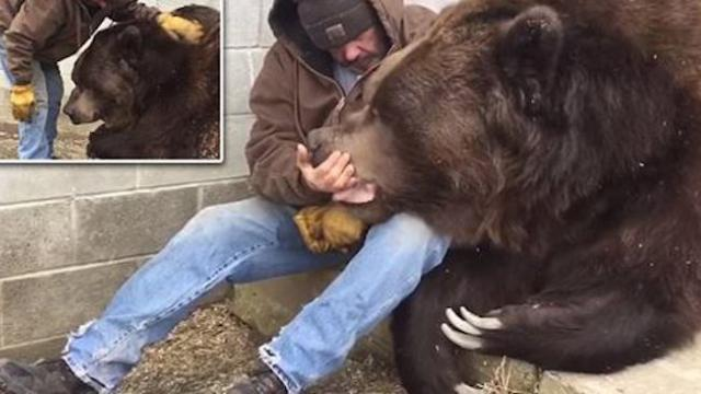 He's a big teddy bear! the incredible moment animal sanctuary owner cuddles up to 1,400-pound, 10-fo
