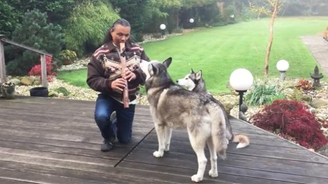 Husky totally entranced by the sound of a majestic native flute, you won't believe what happens