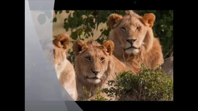 3 Lions Rescue And Protect 12-Year-Old Girl Who Was About To Be Taken By Strangers