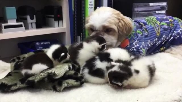 Caring dog in Perth helps take care more than 80 foster kittens—he is their guardian angel