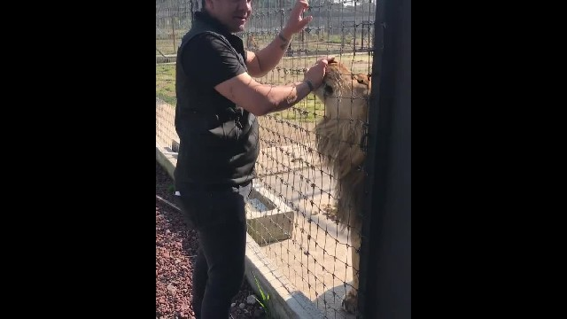 Funny footage of lion lovingly responds to owner's calling and trips over his own paws 2