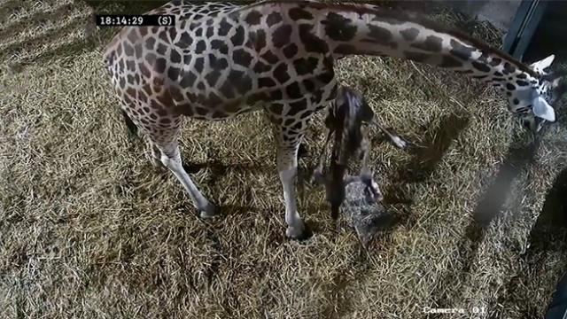 Camera catches rare moment 127 Lb baby giraffe is born, and the footage is absolutely stunning