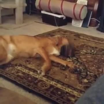 Dog doesn't get what he wants, throws overly-dramatic fit