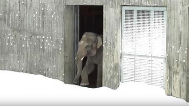 Zoo is closed after big snow storm, then cameras capture moment the animals come out to play