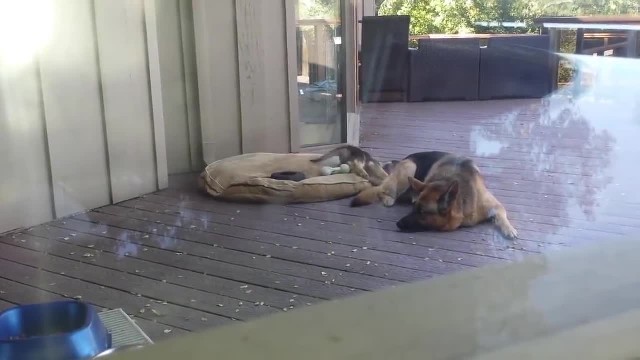 German shepherd puppy refuses to take his nap, now watch mom's reaction…
