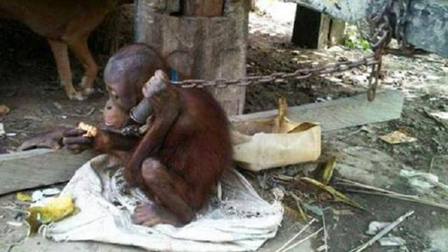 Tiny orangutan was chained under house for five years. Watch his reaction when he is finally set fre
