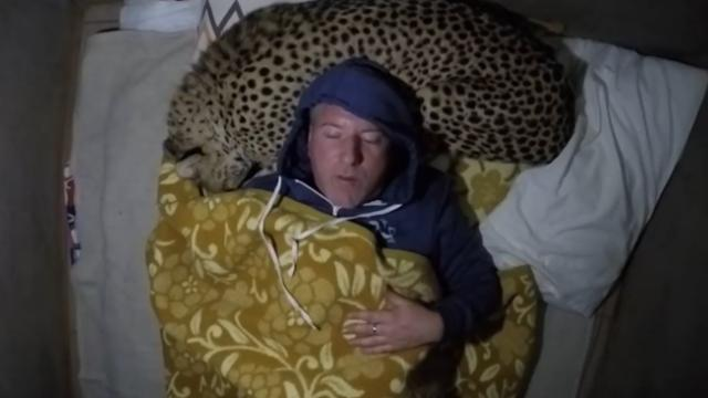Crazy wildlife expert uses a wild cheetah as a pillow to prove a point, ends as expected