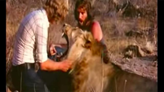 They raised a lion cub then release him into wild - years later,