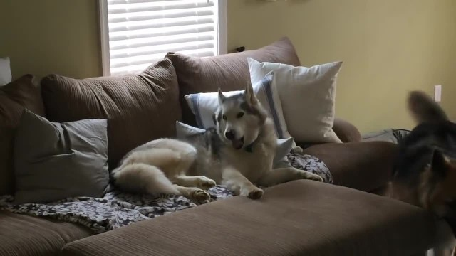 "Mom asks Husky ""Wanna go for a walk"" just to film response that has the internet cracking up"