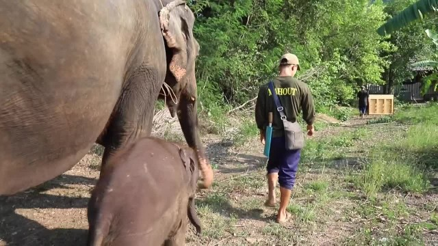 Mesmerized baby elephant watches man play the piano, then he attempts to play too