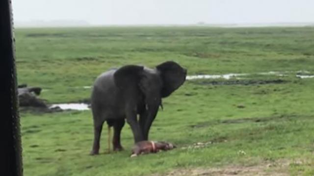 Tourist captures footage of elephant herd charging mother elephant after giving birth