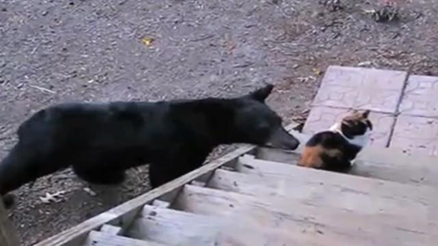 Fearless cat gets confronted by a wild bear and the cat's response will blow you away. Now this is a