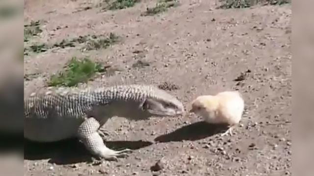 Cute baby chick tries to fight for his life as large lizard tries to eat him. Will the bird be safe?