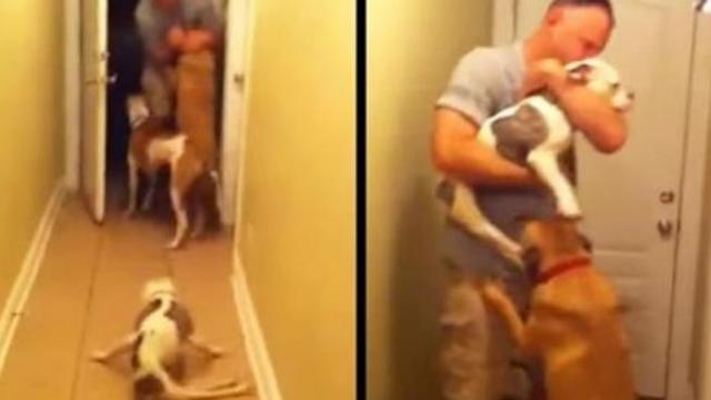 Paralyzed pit bull lies on floor – watch the moment her veteran dad comes home after 6 months