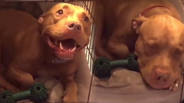 Pit bull refuses to go to sleep until she gets her lullaby