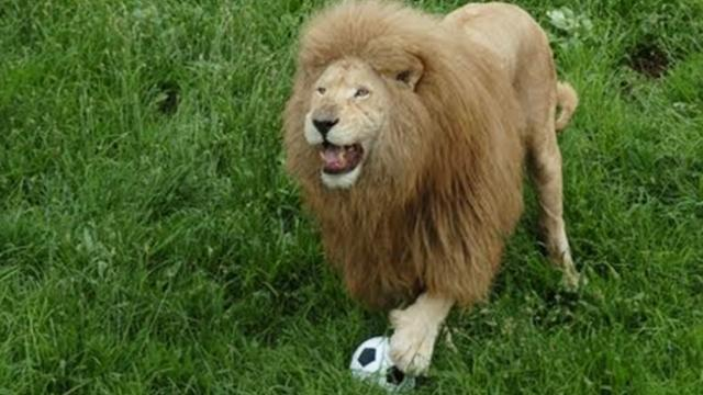 A lion was bored - Zookeeper threw him a toy but was caught completely off guard by lion's reaction