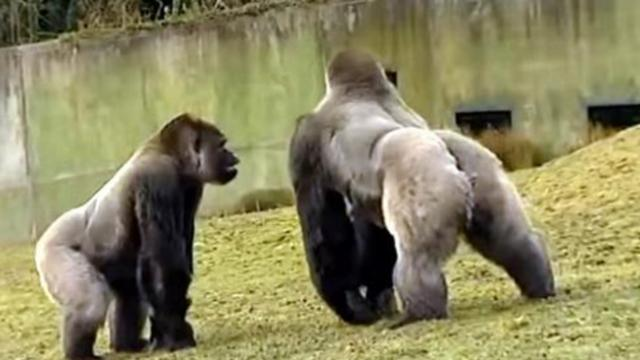6 Foot gorilla catches zookeepers off guard capturing rare footage