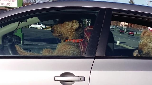 Impatient dog get tired of sitting in the car waiting for its owners. Hilariously takes matters into