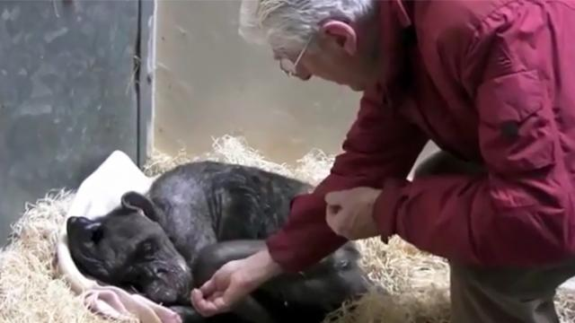 59-year-old dying chimp recognizes her old caretaker's voice and has beautiful reaction