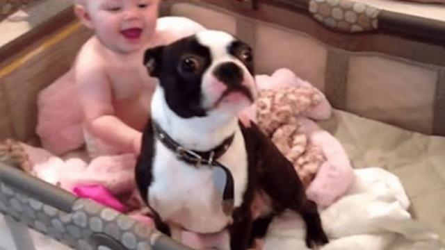 Mom catches dog in baby's crib and begs him to get out. His disobedient reaction is too cute