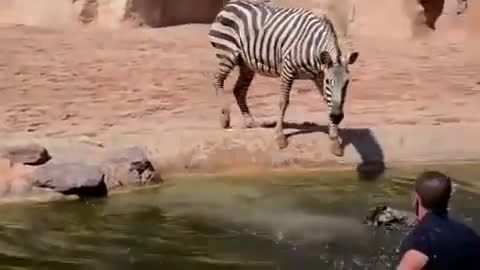 Men dive into water to save helplessly drowning newborn zebra, but mom's reaction goes viral