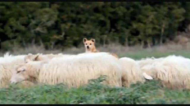 Dog is supposed to be guarding sheep. His work ethic has internet in stitches
