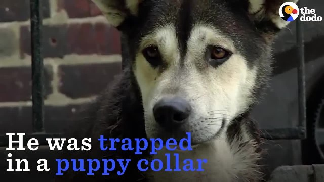 They kept him in a puppy collar on a chain & didn't care about his unbearable pain