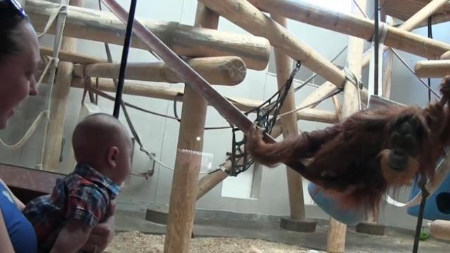Orangutan spots baby through window. As he gets closer, dad starts recording the interaction.