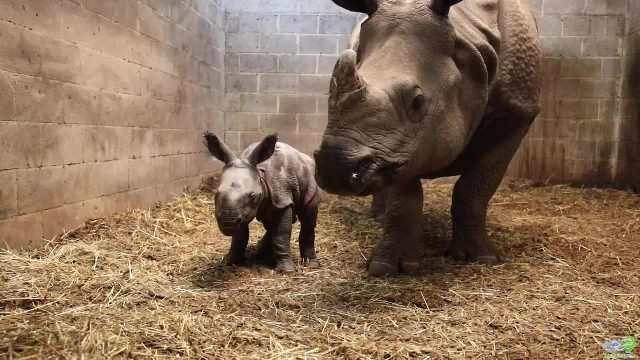 Rhino Mom gives birth to 123-pound baby after a 488-day pregnancy