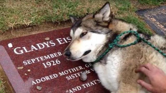 Dog can hardly breath while crying when visiting cemetery to see his late owner's gravestone