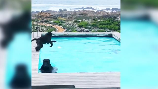 Man looks out window to see some unexpected guests having a blast in his pool