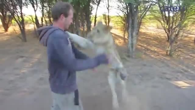 Lioness sees an old friend, jumps into his arms to say hi
