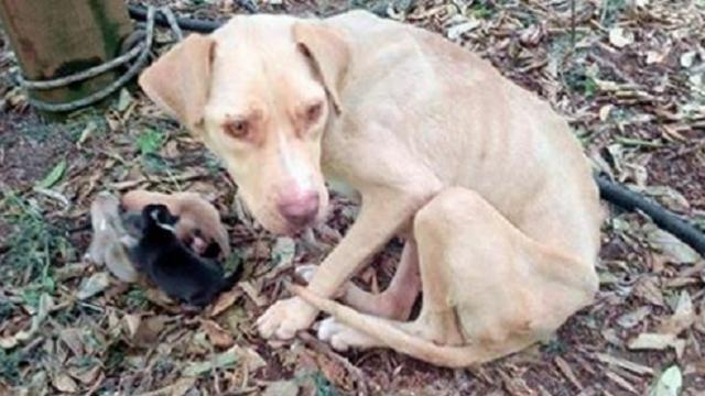 Mama dog tied up and left to die, kept her puppies alive for 10 days waiting for help