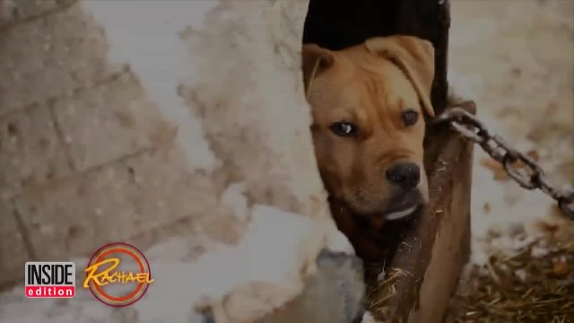 Pit Bull chained up in snow cried for help and then a police officer gives her the chance of a lifet