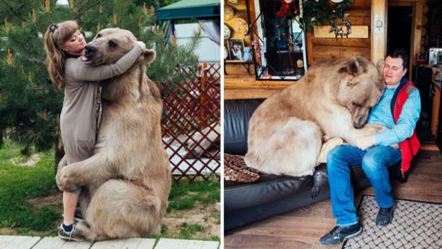 Russian couple lives with a 136-kg bear pet since they adopted him 23 years ago