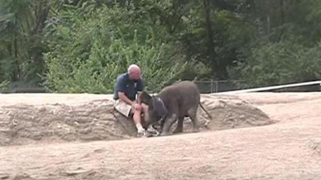 "Baby elephant is bored. So she uses ""backup"" plan to get keeper to play with her."