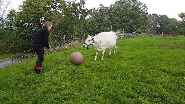 Adorable cow plays fetch with her mom, and she acts just like a puppy
