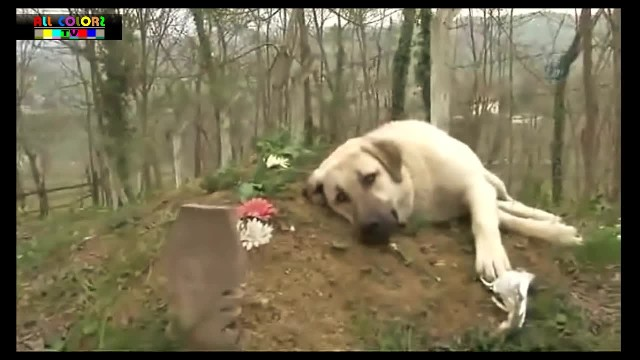 Dog runs away from home every day to visit the owner's grave
