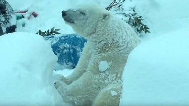 Polar bear caught having time of his life during snow day