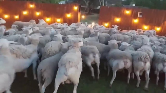 Man leaves backyard fence open, freaks out when 200 sheep invade & refuse to leave