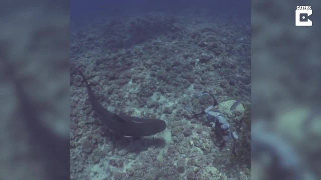 Tiger Shark Circles Diver - Instead Of Swimming Away, He Holds Out His Hand
